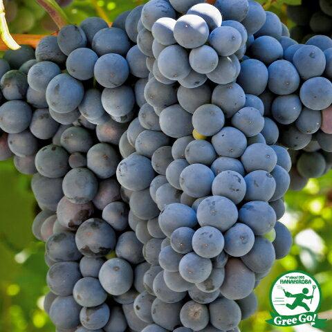 赤ワイン用品種 ビジュノワール