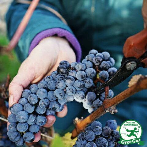 赤ワイン用品種 メルロー