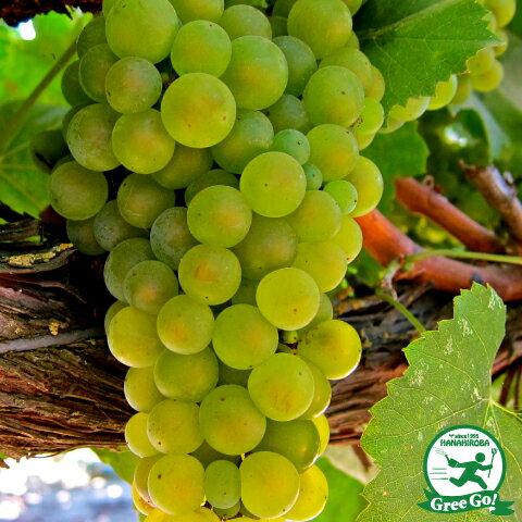 白ワイン用品種 モンドブリエ