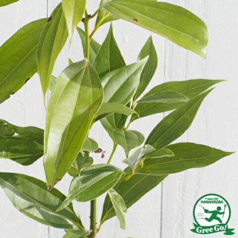 肉桂の木 ポット苗