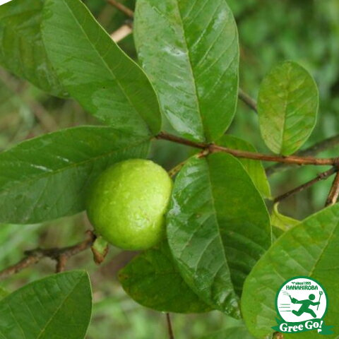 熱帯果樹 キンググァバ 赤実