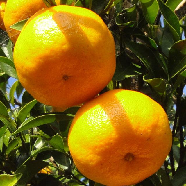 オレンジ 【ポンカン】 1年生 接ぎ木苗