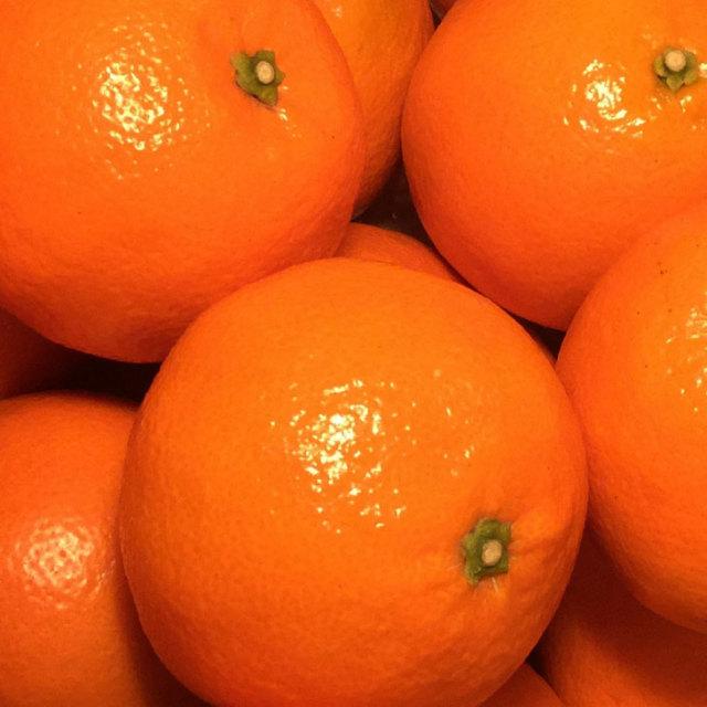 オレンジ 【伊予柑 (いよかん)】 1年生 接ぎ木苗