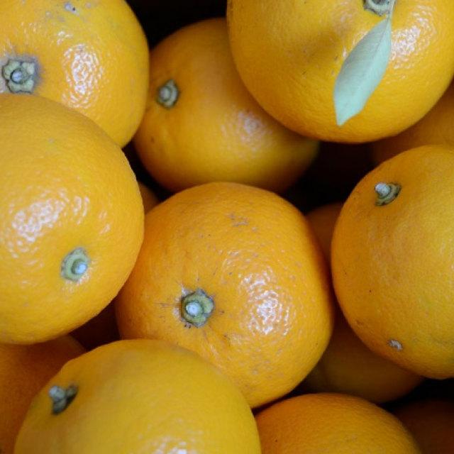 橙 (ダイダイ) 2年生 接ぎ木苗