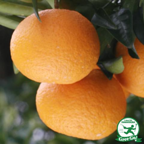 オレンジ 苗木 【紅甘夏 (べにあまなつ)】 2年生 接ぎ木 ポット苗
