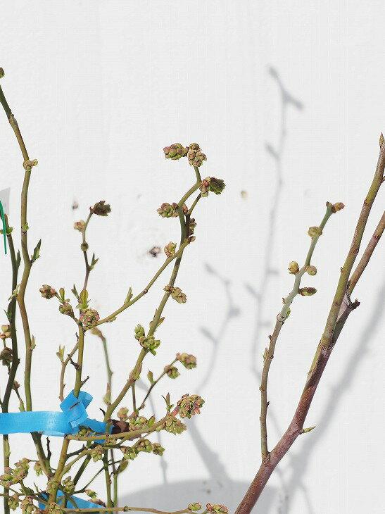 ブルーベリー 【パウダーブルー (ラビットアイ系)】 3年生 挿し木 根巻き大苗