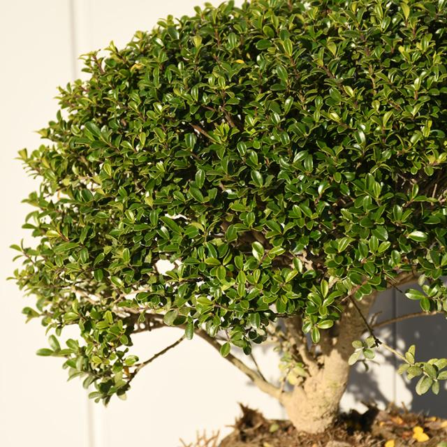 植木 ツゲ 苗 【キンメツゲ 玉仕立て】 約0.4m 根巻き苗
