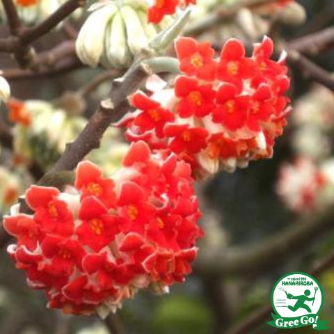 ミツマタ 【赤花 樹高0.7m 根巻き苗】