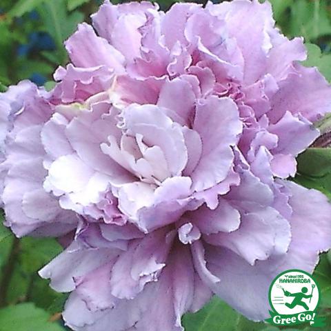 ムクゲ 紫八重 5号ポット苗