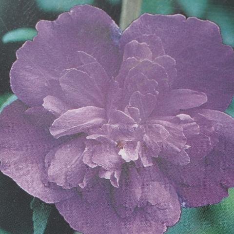ムクゲ 苗 【紫八重】 5号ポット苗