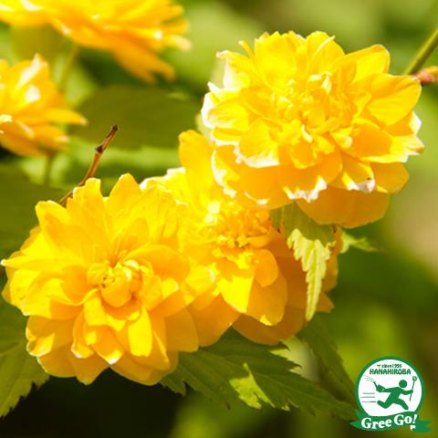 ヤマブキ 【黄花八重ヤマブキ 樹高0.8m 根巻き苗】