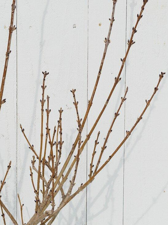 レンギョウ 樹高0.6m ポット苗