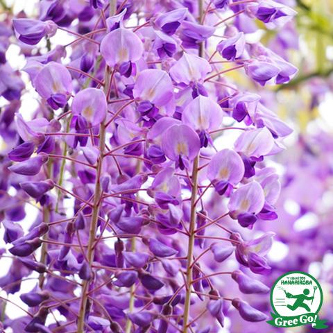 花藤 【紫】
