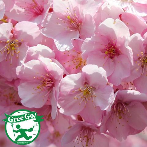 桜 【河津桜】 カワズザクラ 1年生 接ぎ木苗
