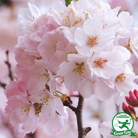 桜 【神代曙 桜】 ジンダイアケボノ ザクラ 1年生 接ぎ木苗 ソメイヨシノの代替品種