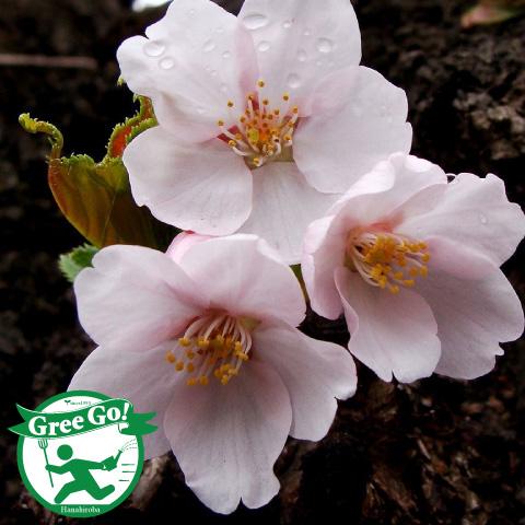 桜 【染井吉野 桜】 ソメイヨシノザクラ 1年生 接ぎ木苗