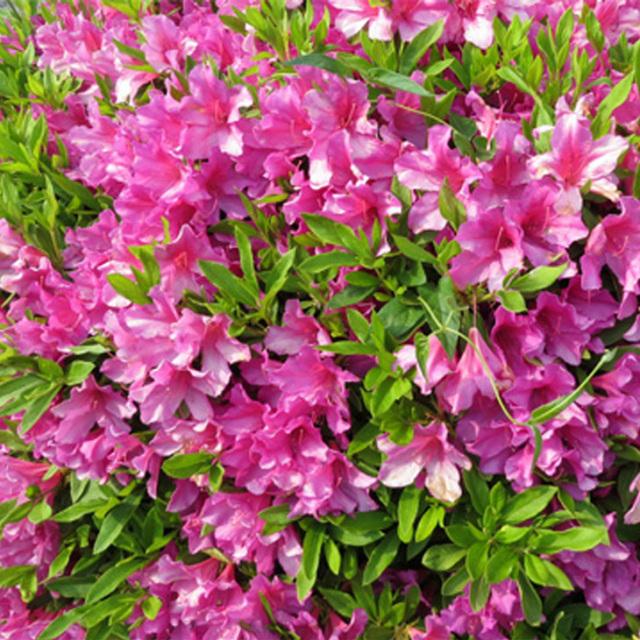ツツジ 平戸ツツジ 紫 4号ポット苗