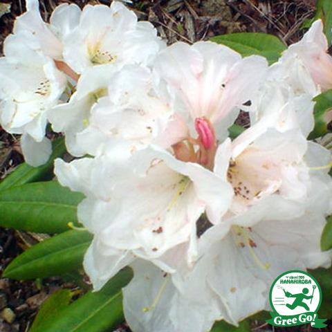 西洋シャクナゲ 【真珠姫 5号ポット苗】常緑樹