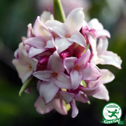 沈丁花 ジンチョウゲ 赤花 根巻き苗