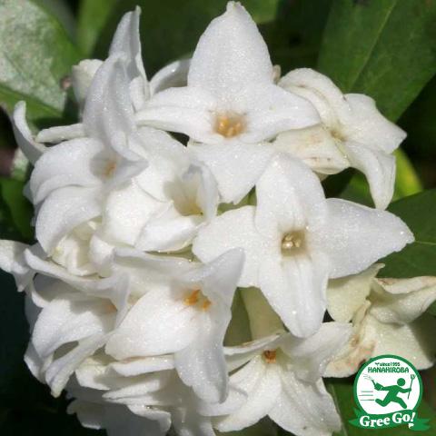 沈丁花 ジンチョウゲ 白花 根巻き苗