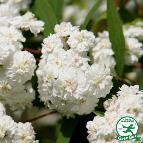 八重咲きコデマリ ポット苗