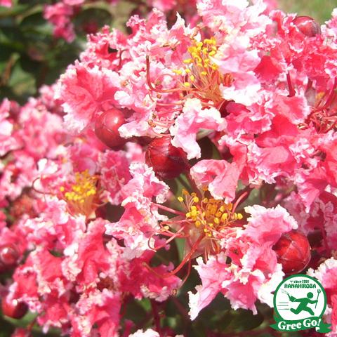 百日紅サルスベリ 夏祭り5号ポット苗
