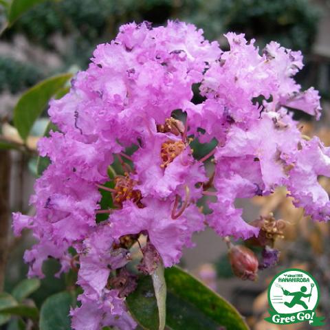 百日紅サルスベリ 紫花 ムラサキ5号ポット苗