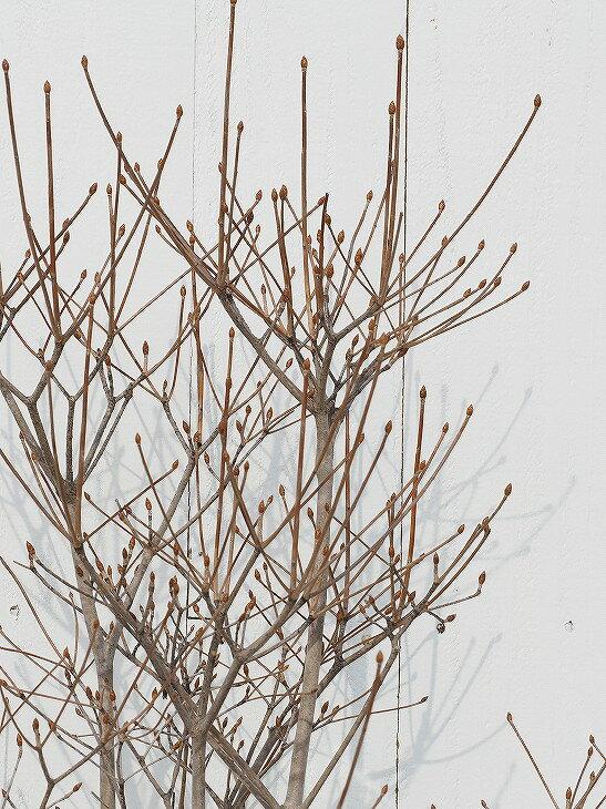 ツツジ 【ドウダンツツジ 白花 根巻き苗 1.2m】 【時間帯指定不可】