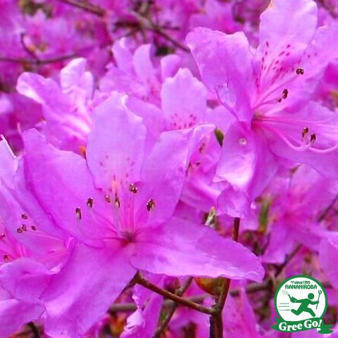 ツツジ ミツバツツジ 赤花樹高0.9m 根巻き大苗