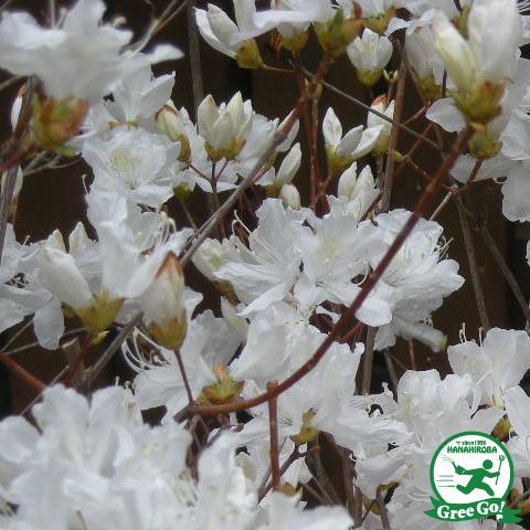 ツツジ ミツバツツジ 白花樹高0.9m 根巻き大苗
