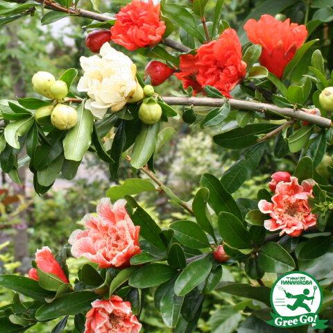 咲き分け品種 五彩榴 ごさいりゅう