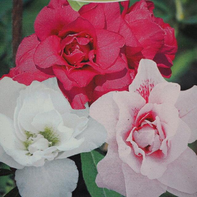 平戸ツツジ 三色八重咲き ミックス トリカラー