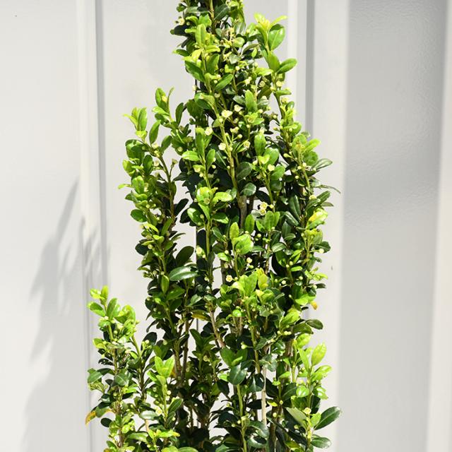 植木 ツゲ 苗 【スカイペンシル】 約0.9m ポット苗