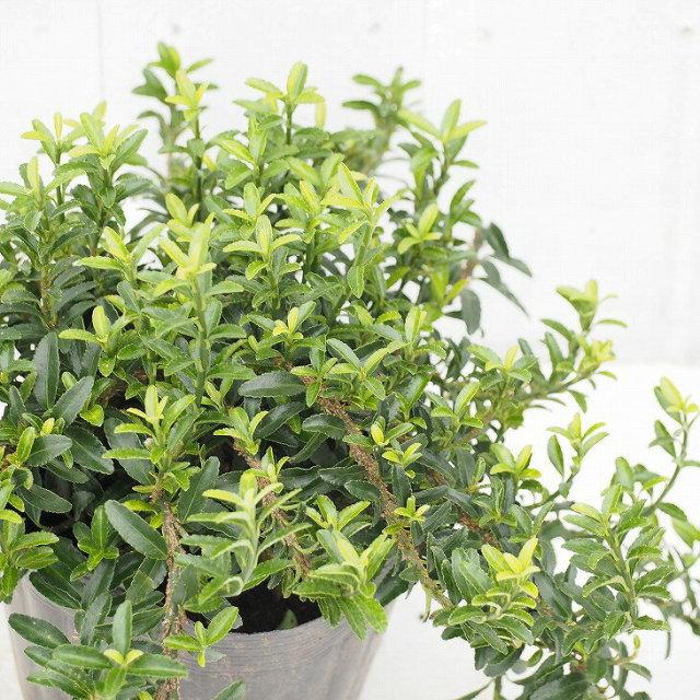 緑葉 ヒメマサキ