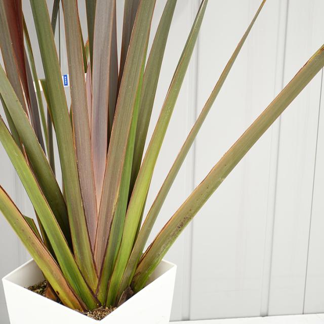 ニューサイラン 苗 【銅葉 ニューサイラン】 約1.2m 鉢植え