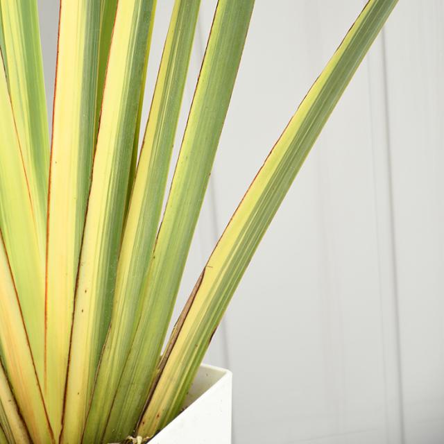 ニューサイラン 苗 【斑入り バリエガータ】 約1.2m 鉢植え