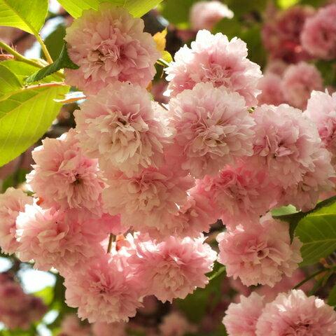 数珠掛桜 じゅずかけざくら