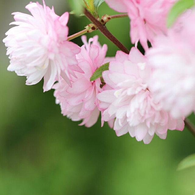 八重咲き ニワザクラ ピンク花