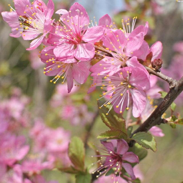 一重咲き ニワウメ ピンク花