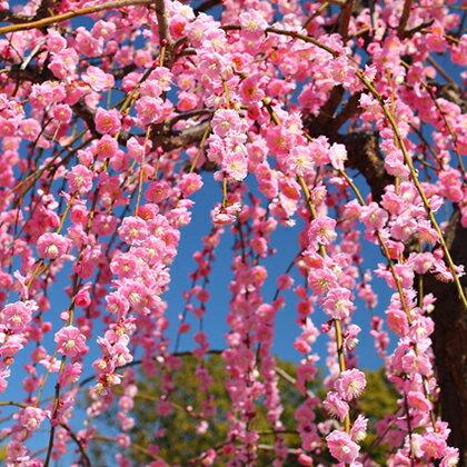 ピンク花 しだれ梅