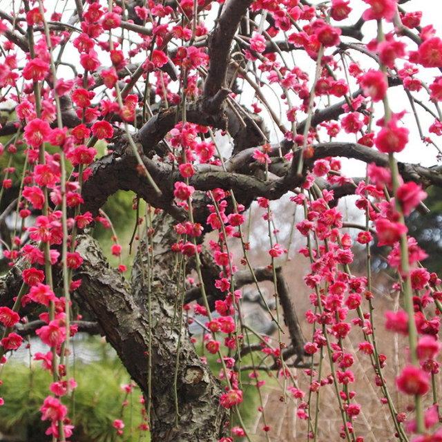 赤花 しだれ梅