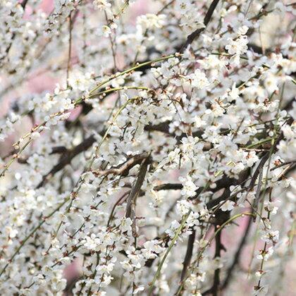 白花 しだれ梅