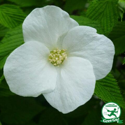 白花一重ヤマブキ
