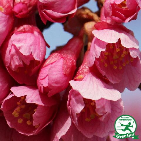 寒緋桜 かんひざくら