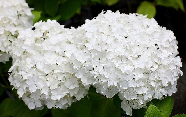 ガーデンアジサイ ホワイトキング