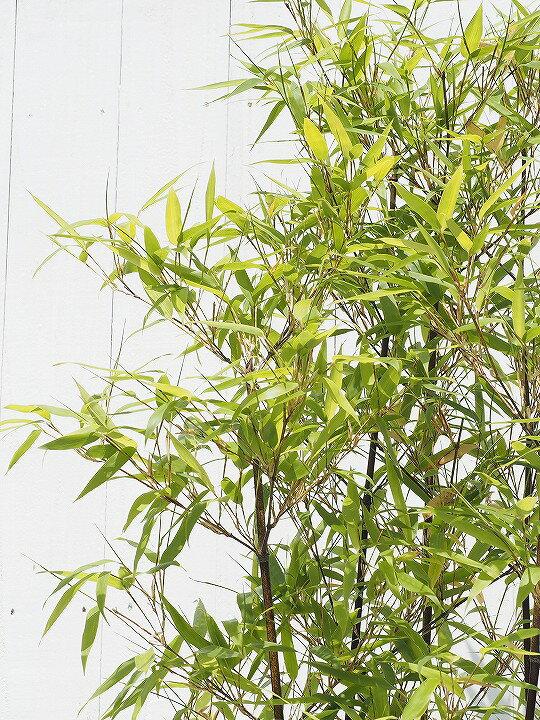 黒竹 クロチク