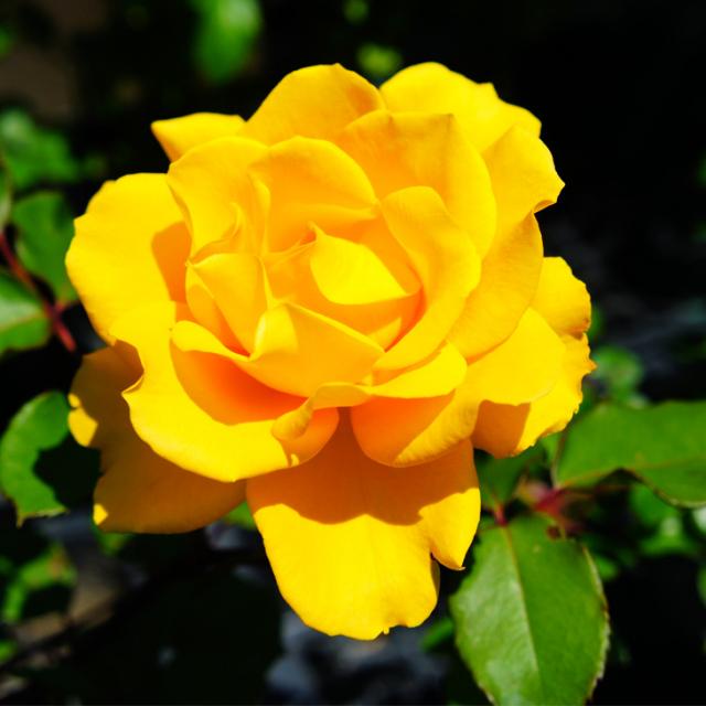バラ苗 【ヘンリーフォンダ (HT) 大輪 四季咲き】  1年生接木苗 3.5号(10.5cm)ポット苗 薔薇 ローズ
