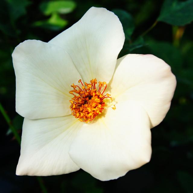 バラ苗 【ホワイトウィングス (HT) 大輪 四季咲き】 2年生接木大苗 スリット 鉢植え 2年間植え替え不要 薔薇 ローズ