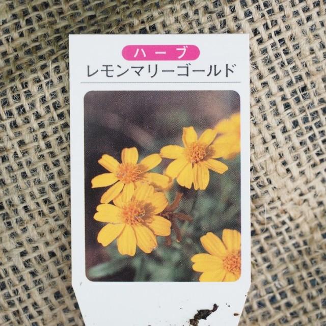 ハーブ 苗 【レモン マリーゴールド】 3号ポット×5株セット ハーブ苗 セット