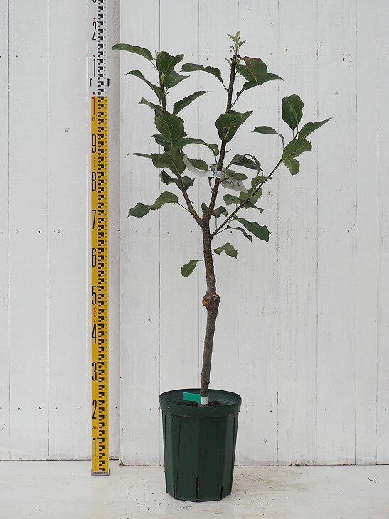 YD矮性台木